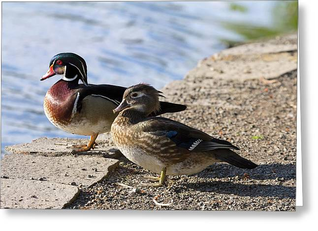 Wood Duck Pair By The Lake Greeting Card by David Gn