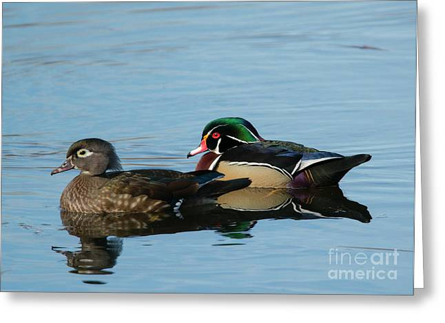 Wood Duck Reflections Greeting Card by Mike Dawson