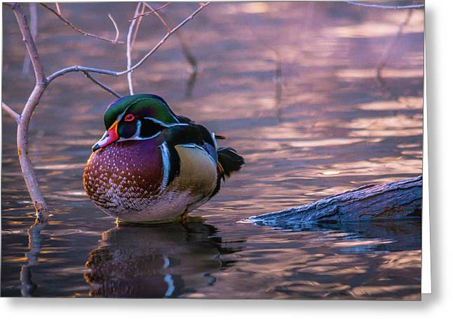 Wood Duck Resting Greeting Card