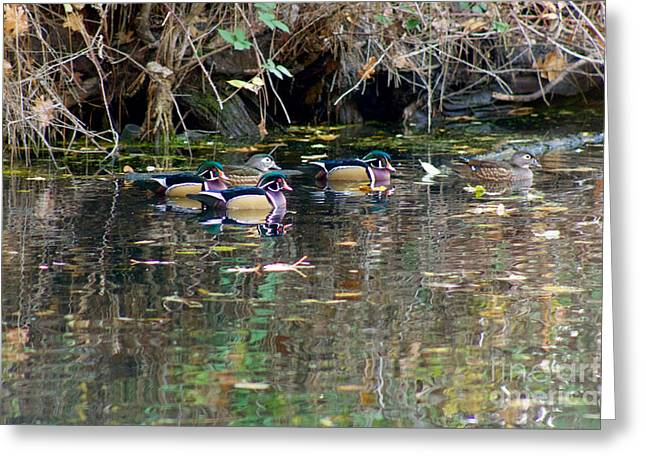 Wood Ducks In Autumn Greeting Card by Sean Griffin