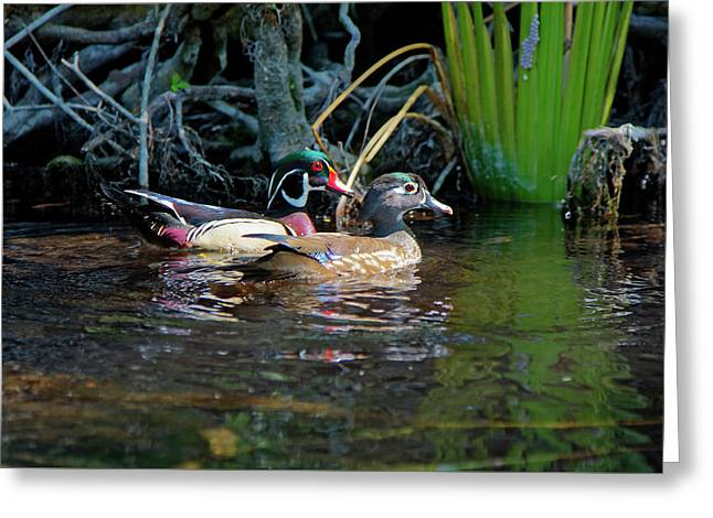 Wood Ducks Pair Greeting Card