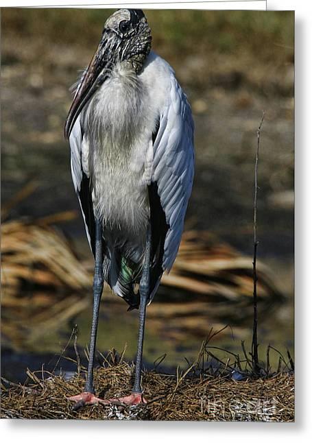 Wood Stork 2016 Greeting Card by Deborah Benoit