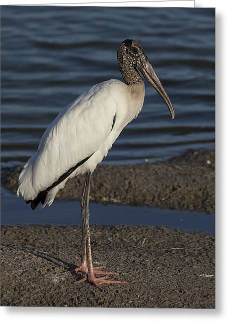 Wood Stork In The Final Light Of Day Greeting Card