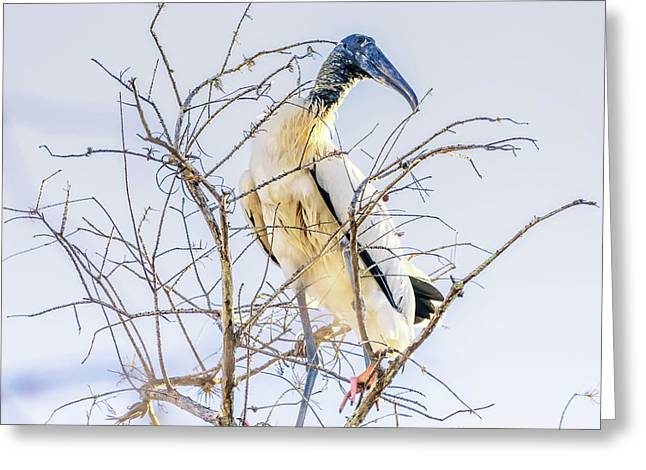 Wood Stork Sitting In A Tree Greeting Card