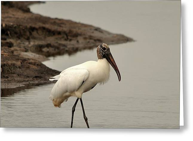 Wood Stork Walking Greeting Card by Al Powell Photography USA