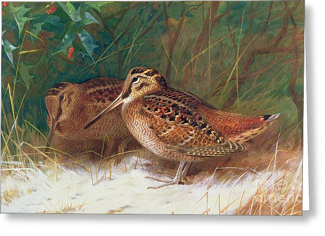 Woodcock In The Undergrowth Greeting Card by Archibald Thorburn