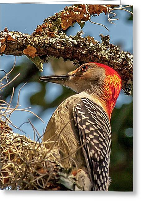Woodpecker Closeup Greeting Card