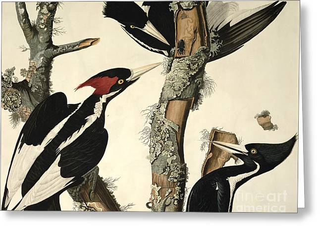 Wild Life Drawings Greeting Cards - Woodpecker Greeting Card by John James Audubon
