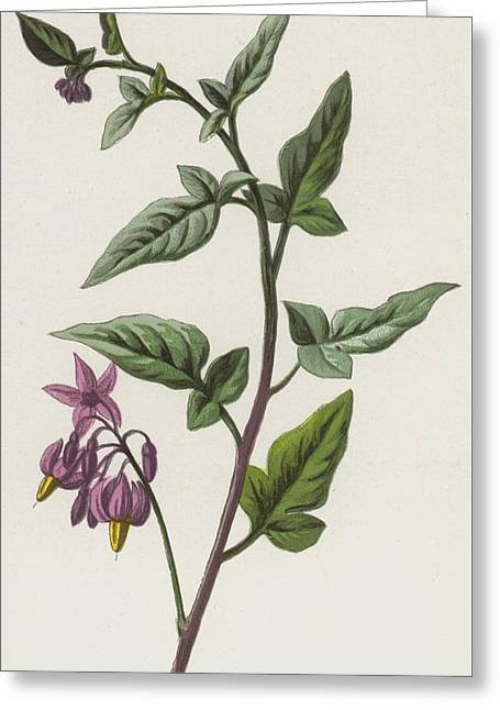 Woody Nightshade Greeting Card by Frederick Edward Hulme
