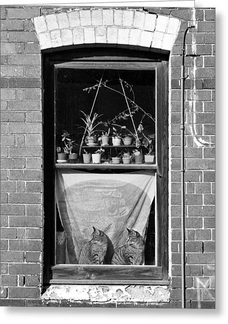 Woolloomolloo Window With Cats Greeting Card by Barry Culling