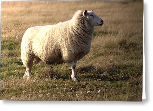 Woolly Coat Greeting Card