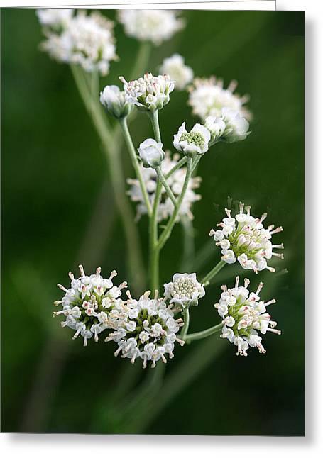Wooly Whites Wildflowers Greeting Card by Linda Phelps