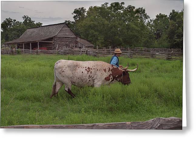 Greeting Card featuring the photograph Working Farm Oxen by Joshua House