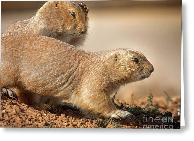 Greeting Card featuring the photograph Worried Prairie Dog by Robert Frederick
