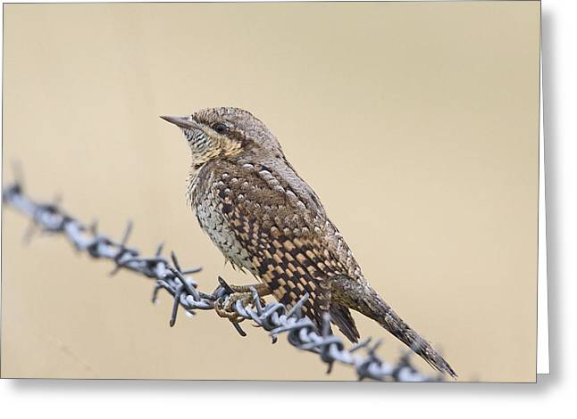 Wryneck On Wire Greeting Card
