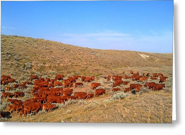 Wyoming Reds Greeting Card