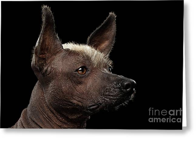 Xoloitzcuintle - Hairless Mexican Dog Breed, Studio Portrait On Black Background Greeting Card by Sergey Taran