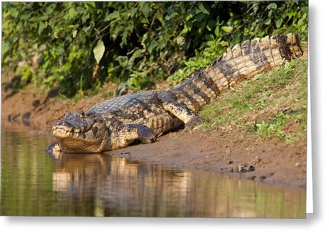 Alligator Crawling Into Yakuma River Greeting Card