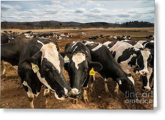 Yankee Farmlands No 61 - Cows On New England Dairy Farm Greeting Card by JG Coleman