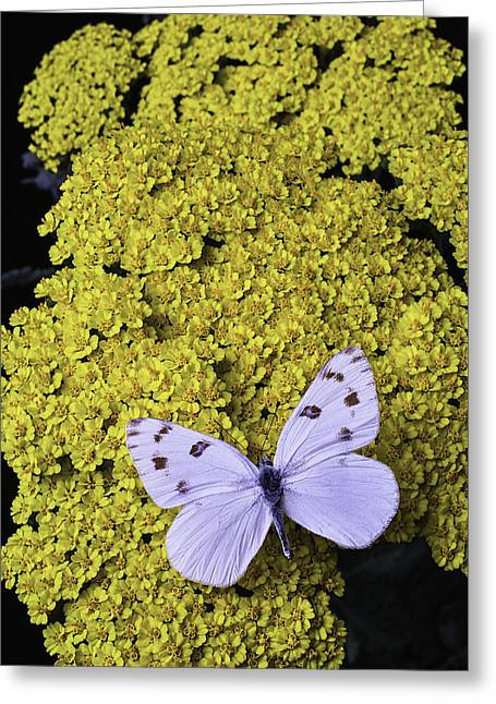 Yarrow With White Butterfly Greeting Card
