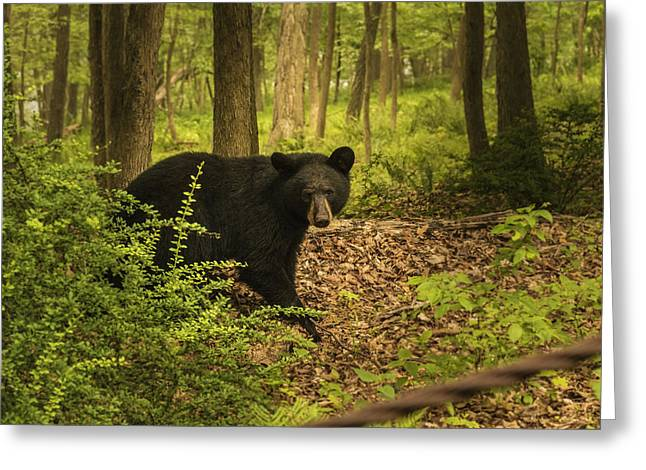 Yearling Black Bear Greeting Card