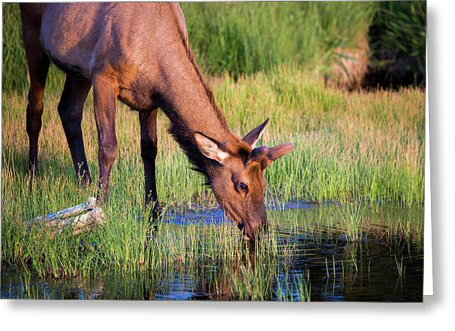Yearling Elk Greeting Card by Dan Pearce