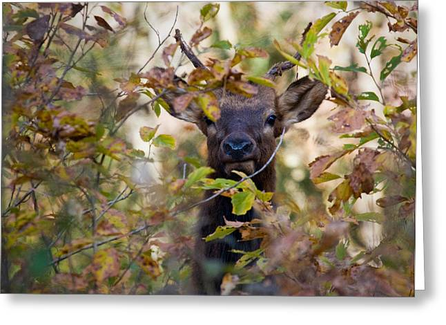Greeting Card featuring the photograph Yearling Elk Peeking Through Brush by Michael Dougherty