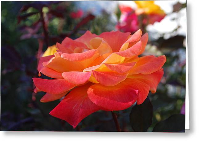 Yellow And Pink Rose Greeting Card