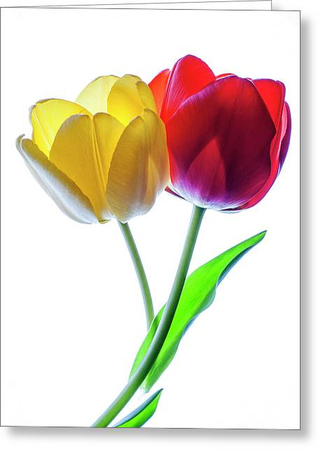 Yellow And Red Tulips On White Greeting Card by Vishwanath Bhat