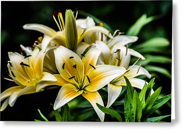 Yellow And White Lilys Greeting Card
