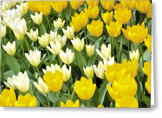 Yellow And White Tulips Greeting Card