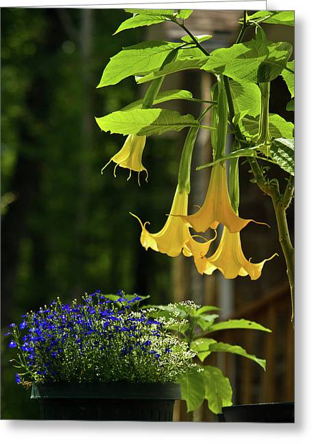 Diversion Greeting Cards - Yellow Angel Trumpet Greeting Card by Douglas Barnett