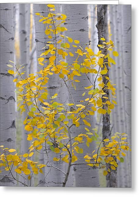 Yellow Aspen Tree Greeting Card