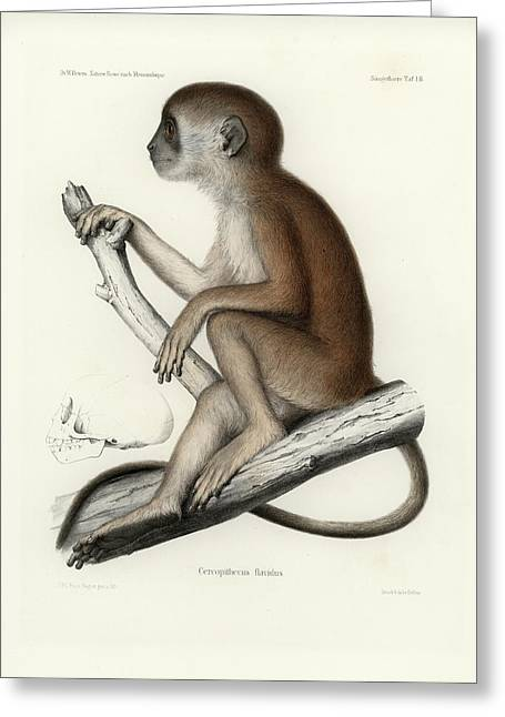 Yellow Baboon, Papio Cynocephalus Greeting Card by J D L Franz Wagner