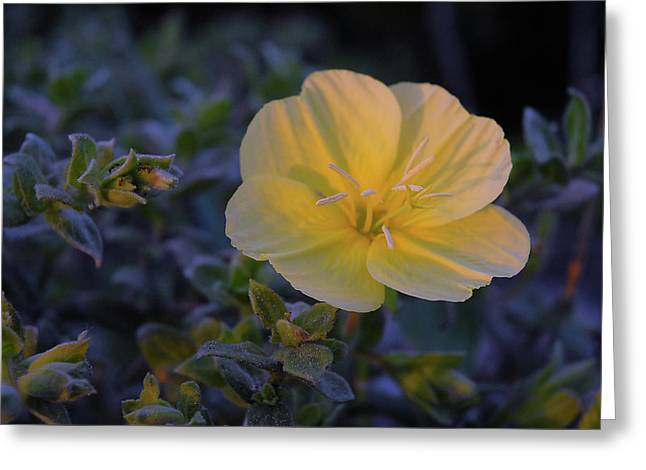Greeting Card featuring the photograph Yellow Beach Evening Primrose by Marie Hicks