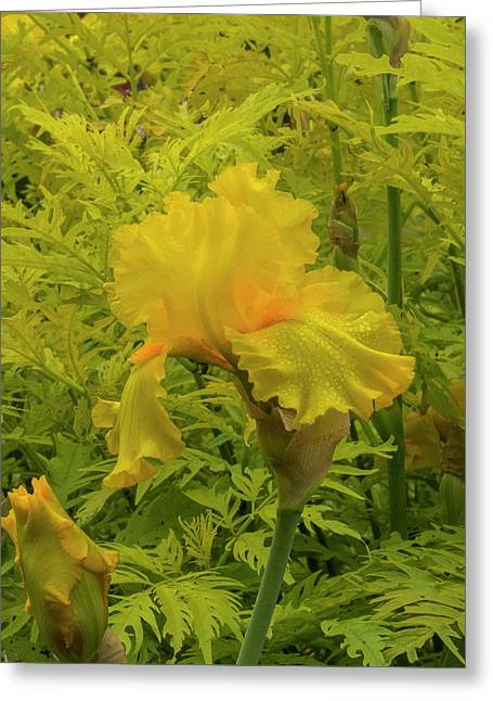 Yellow Bearded Iris Greeting Card by Jean Noren