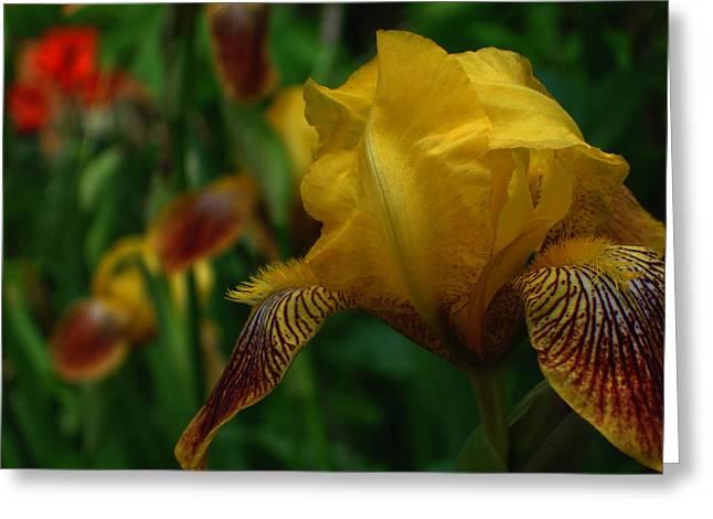 Yellow Beared Iris Greeting Card by Martin Morehead