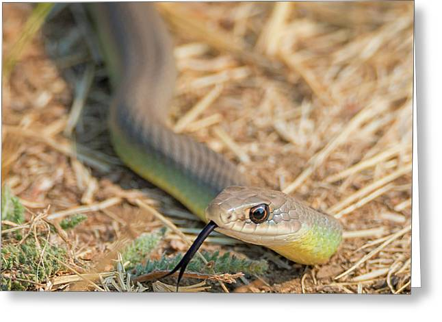 Yellow Bellied Racer Greeting Card