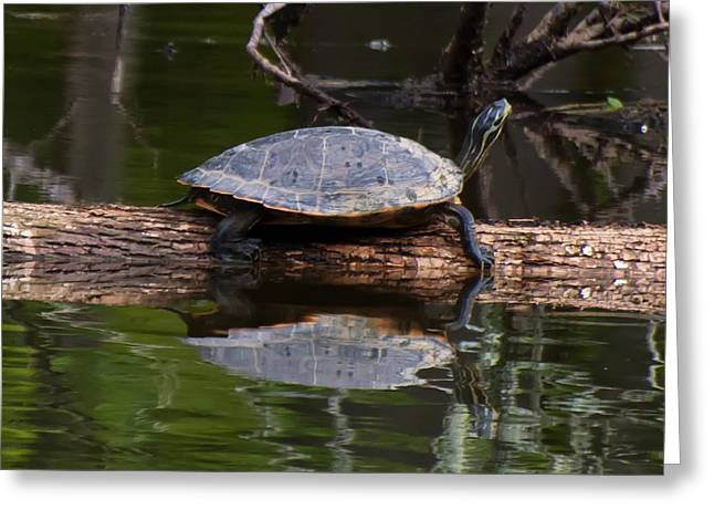Yellow Bellied Slider Resting On A Log Greeting Card by Chris Flees