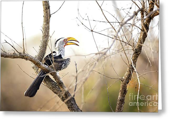 Yellow-billed Hornbill Sitting In A Tree.  Greeting Card