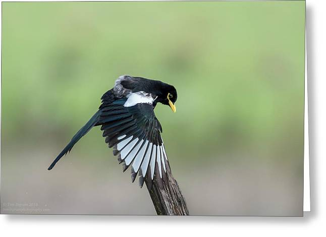 Yellow-billed Magpie Drying Wings In Rain Greeting Card by Tom Ingram