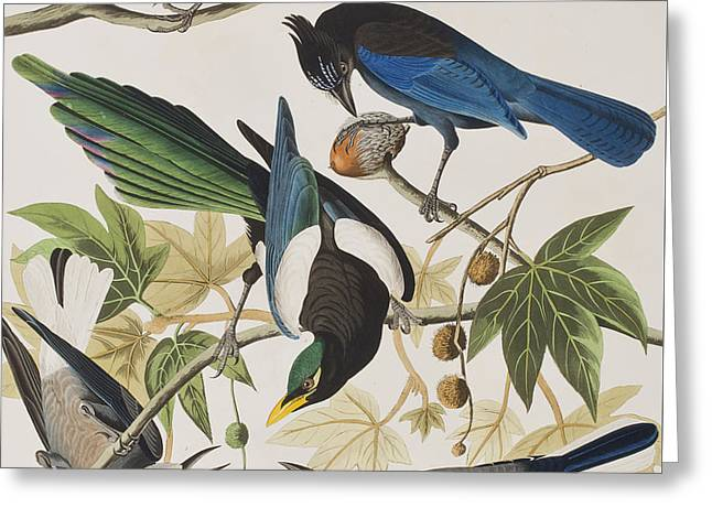 Yellow-billed Magpie Stellers Jay Ultramarine Jay Clark's Crow Greeting Card by John James Audubon