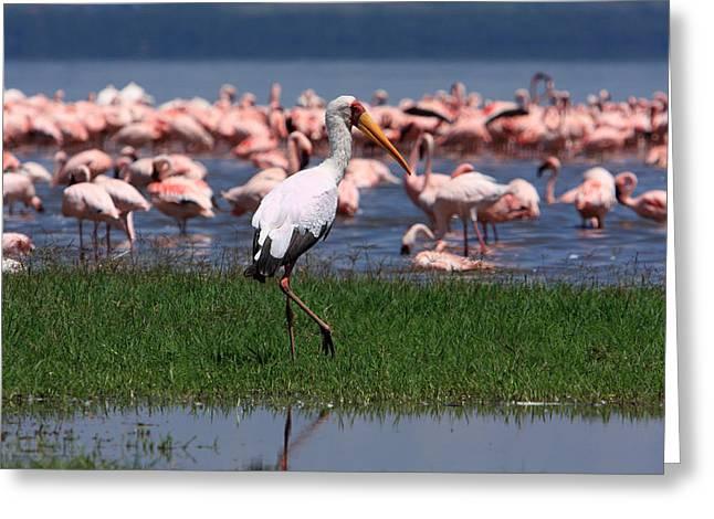 Yellow Billed Stork Greeting Card