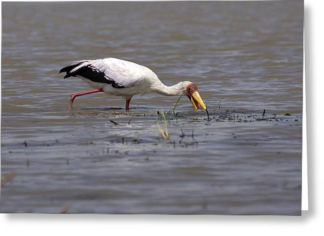 Yellow Billed Stork, Birds Of Africa Greeting Card