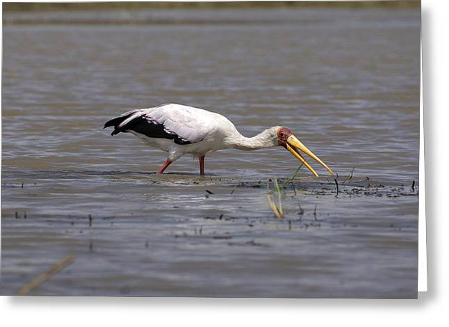 Yellow Billed Stork Wading In The Shallows Greeting Card