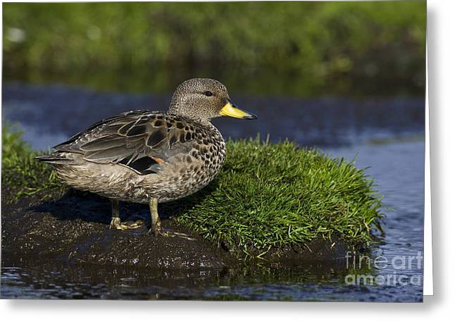 Yellow-billed Teal Greeting Card by Jean-Louis Klein & Marie-Luce Hubert
