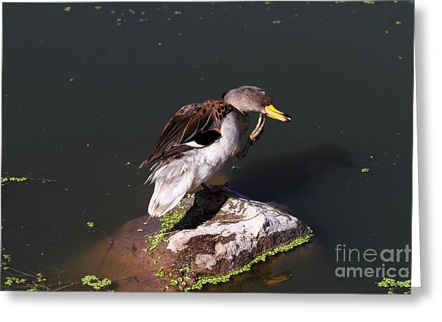 Yellow-billed Teal Preening Greeting Card by James Brunker