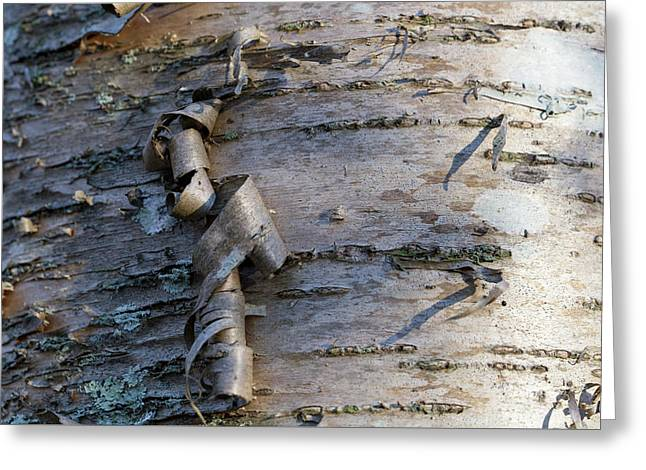 Greeting Card featuring the photograph Yellow Birch Details by Andrew Pacheco