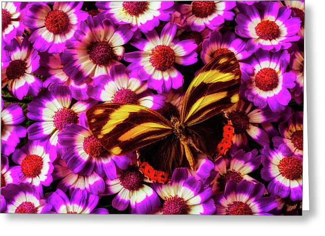 Yellow Black Butterfly On Pericallis Greeting Card by Garry Gay