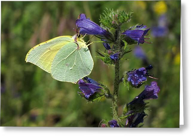 Greeting Card featuring the photograph Yellow Brimstone Butterfly  by Jacqi Elmslie